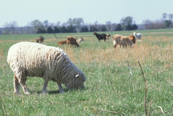 Sheep_in_field_with_other_livestock