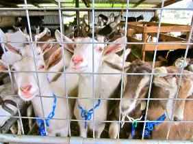 UCCE Humboldt has assisted local goat dairies. (Photo of goat dairy in McKinleyville by Kevin L. Hoover, Arcata Eye)