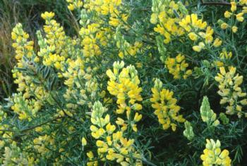 Yellow Bush Lupine (Lupinus arboreus)