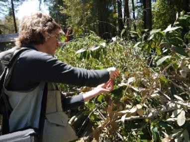 Forest Advisor Yana Valachovic samples vegetation for Sudden Oak Death